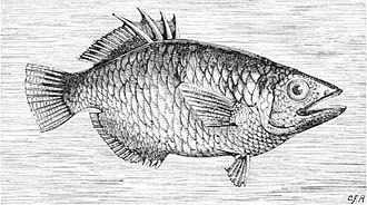 Archerfish - Image: PSM V12 D319 Archer fish