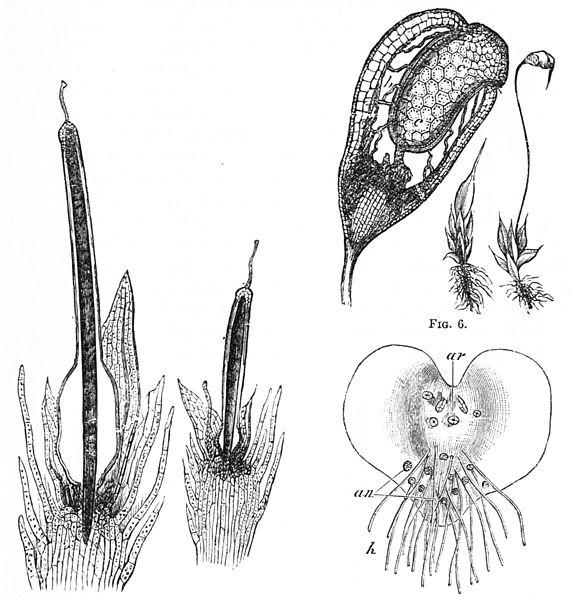 File:PSM V25 D173 Reproductive organs of fern.jpg