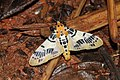Pachynoa spilosomoides group (Crambidae- Spilomelinae) (22827500371).jpg
