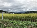 Paddy fields near Harajiri Waterfall 9.jpg
