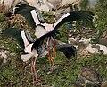Painted Stork (Mycteria leucocephala) in Garapadu, AP W IMG 5256.jpg