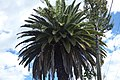 Palma Fénix (Phoenix canariensis) (14438767982).jpg