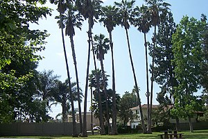 Palm trees at a park in Northridge, Los Angele...