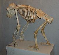 O esqueleto de um chimpanz�
