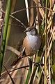 Panurus biarmicus -Oare Marshes, Kent, England -female-8 (2).jpg