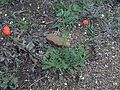 Papaver dubium Plant DehesaBoyalPuertollano.jpg