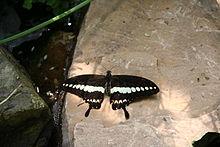 Papilio gigon-01 (xndr).jpg
