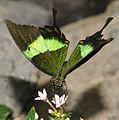 Papilio palinurus (2).jpg