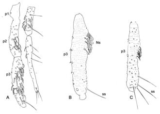 Phlebotominae - Image: Parasite 170028 fig 3 Illustrated guide of Phlebotominae (Diptera, Psychodidae)