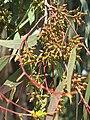 Parc Olbius Riquier - Eucalyptus camaldulensis (buds).jpg