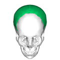 Parietal bone superior2.png