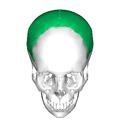 Parietal bone superior2.png