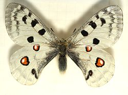 Parnassius.apollo.mounted.jpg