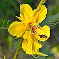 Partridge Pea & Bee (5761053027).jpg
