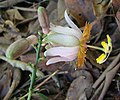 Passiflora cerradensis.jpg