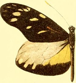 Patia cordillera male.JPG