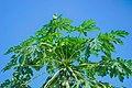 Pawpaw tree in Nigeria.jpg