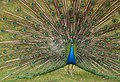 Peacock, East Park, Hull - panoramio.jpg