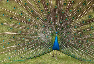 Indian peafowl - Male (peacock) displaying