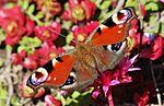 Peacock butterfly IMG 7564 (9496671346).jpg