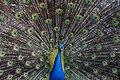 Peacock unsplash.jpg