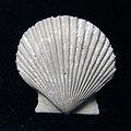 Pecten Plagioctenium subventricosus SR 02-272 B 01.jpg