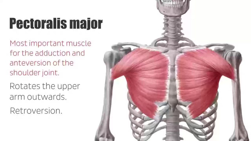 Filepectoral Muscles Area Anatomy Function Human Anatomy