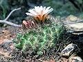 Pediocactus simpsonii fh 55 6 AZ B.jpg