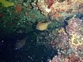 Pempheris klutzingeri Rough bullseye PC068930.JPG