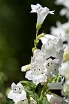 Penstemon digitalis -White Bedder- 3-2739.jpg
