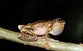 Perons Tree Frog (Litoria peroni) (8397010753).jpg