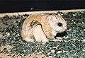 Petit polatouche (Écureuil volant) (Glaucomys volans) (2).jpg