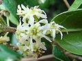 Peumus boldus, Monimiaceae.jpg