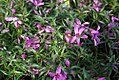 Phlox subulata Crimson Beauty 0zz.jpg