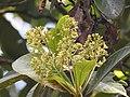 Phoebe cooperiana (Sanchar) flowers1.jpg