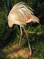 Phoenicopterus chilensis.jpeg