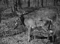 Photograph of Deer - NARA - 2129377.tif