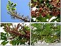 Phyllanthus acidus 1.jpg