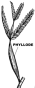 Phyllode (PSF).png
