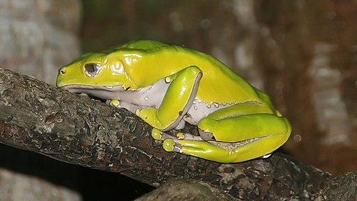 kambo (phyllomedusa bicolor)