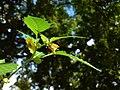Physalis peruviana (Kapstachelbeere)-4.JPG