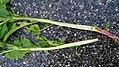 Phytolacca americana - longitudinal section of stem 01.jpg