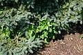 Phytolacca americana seedlings 8601.JPG