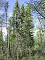 Picea mariana 1-eheep (5098081614).jpg