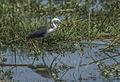 Pied Heron - Austral 89-2Image3 (15412858815).jpg