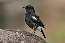 Pied bush chat (Saxicola caprata)male from nilgiris DSC 1123.jpg