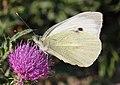 Pieris brassicae - Burgenland.jpg
