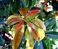 Pieris formosa in Dunedin Botanic Garden 05.jpg