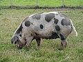 Pig, Kilcullen.jpg