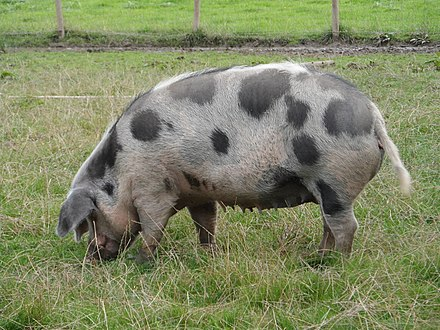 Sow with prominent nipples. Pigs typically have 12-14 nipples. Pig, Kilcullen.jpg
